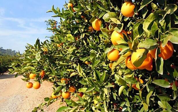 Caja 15 kg naranjas de mesa, zumo o mixta