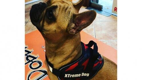 La última moda en arnés para perros